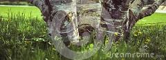 baumstämme-eines-suppengrüns-115754020